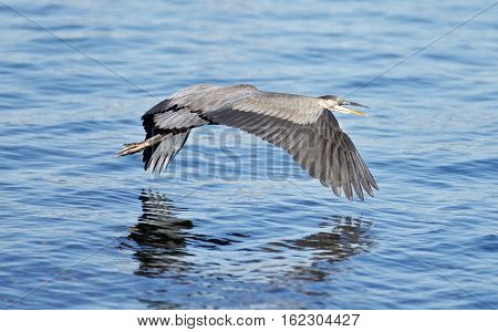 Beautiful Isolated Picture With A Funny Great Heron Flying Near The Water