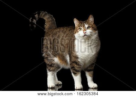 Curious Funny fat Cat Standing with tail like question on isolated black background