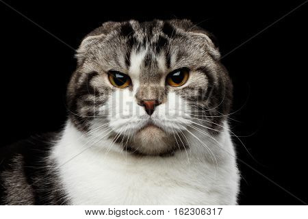 close-up portrait of grumpy cat of scottish fold breed on isolated black background, small ears and round head, looking in camera
