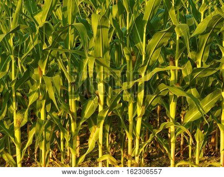 Spring background of stems of corn in the spring in row.