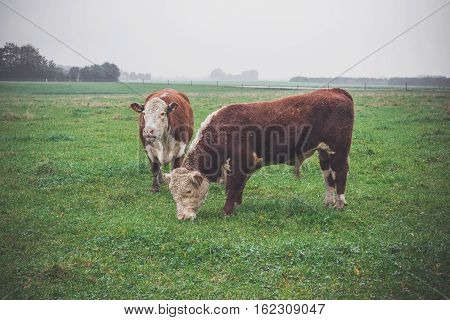 Hereford Cows On A Green Field