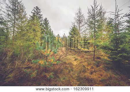 Pine Trees With Colorful Needles