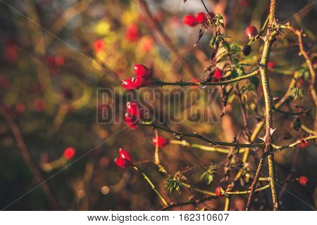 Red Rosa Rugosa Berries On A Bush