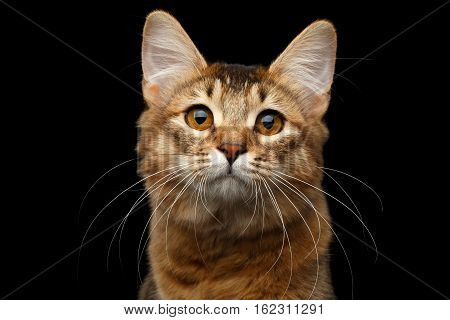 Close-up Portrait of pedigree orange Somali kitty looking in camera on isolated black background
