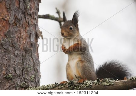 a red squirrel sitting in a tree