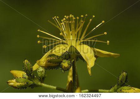 Hairy St John's-wort - Hypericum hirsutum Flower & Buds