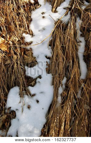 Snow among the yellowed grass in the forest