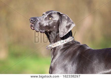 Weimaraner purebred dog stand in forest outside portrait