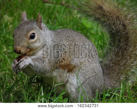 Squirrel eating chestnut in Hyde Park, London, England