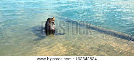 California Sea Lion in marina in Cabo San Lucas Mexico BCS