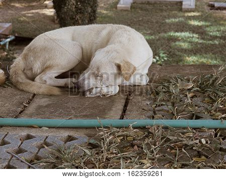 sad stray dog is dirty brown color Lying on the ground.