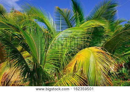 closeup beautiful view of tropical palm trees fluffy leafs against blue sky background on sunny gorgeous day
