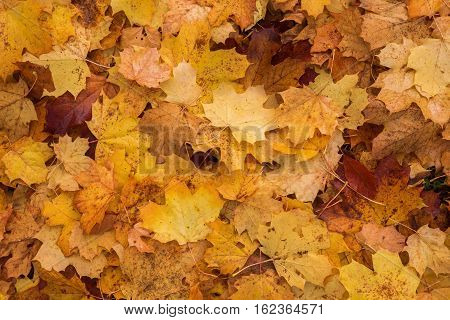 background texture of autumnal maple leaves fallen on the ground