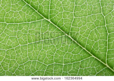 macro photo of spring green leaf