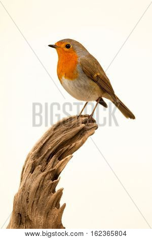 Beautiful small bird with a orange feathers on a white background