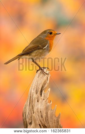 Beautiful small bird with a orange feathers on a colorfull background
