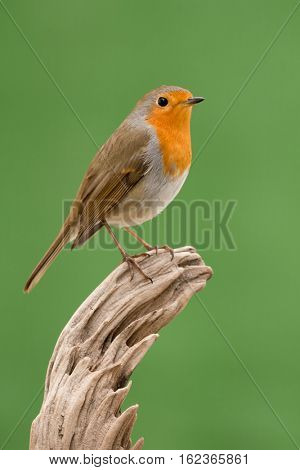 Beautiful small bird with a orange feathers on a green background