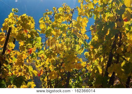 Vineyard With Autumnal Colored Grapevines