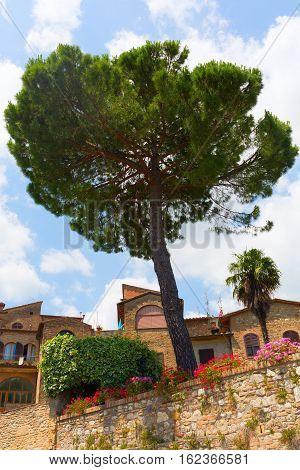 Pine Tree In San Gimignano, Tuscany, Italy