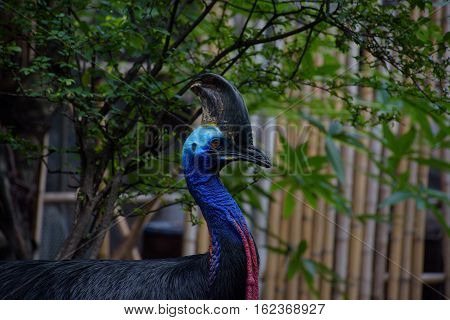 cassowary the world's most dangerous bird, at dusit zoo.