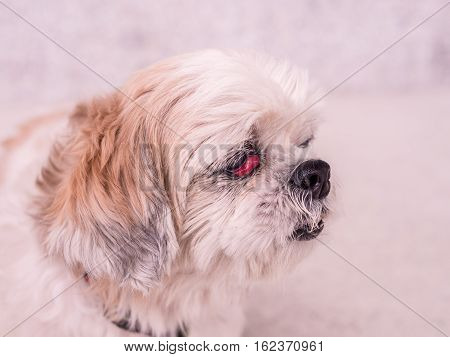 old Shih-Tzu dog with cherry eye disease