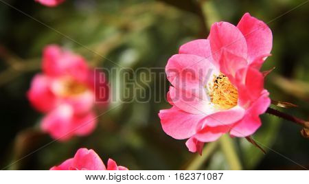 bright pink flowers in a sunny garden