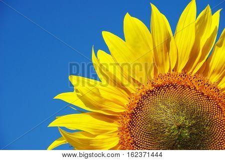 yellow sunflower under blue sky