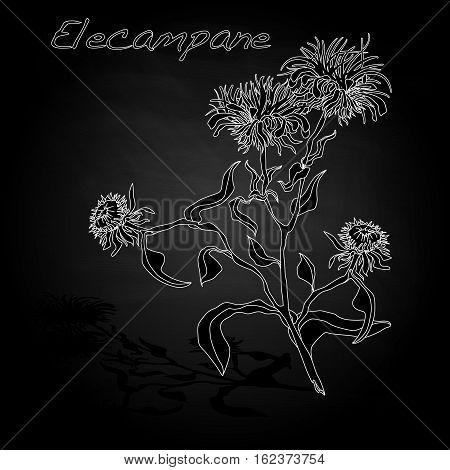 Elecampane Vector Illustration