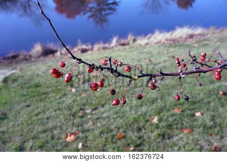 Crab apples cling to a crab apple tree in Joliet, Illinois during November.