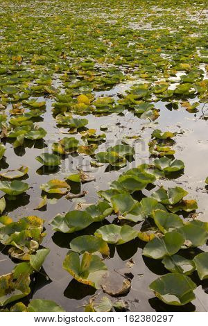 lily pads covering a lake in Minnesota.