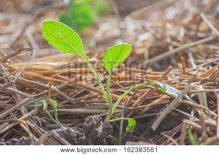 Sapling of organic vegetable in plot with morning light.