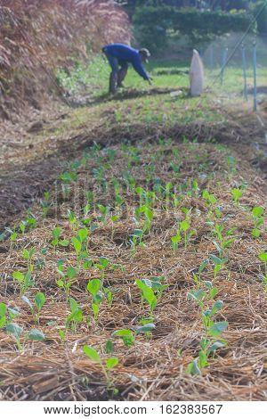 Organic vegetable plot in the morning light.