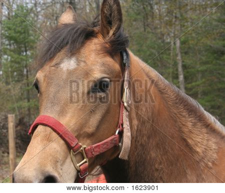 Horse Standing In A Field, Looking At Camera
