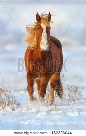 Red horse with long blond mane run gallop in winter snow field