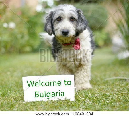 picture of a The cute black and white adopted stray dog on a green grass. focus on a head of dog. Text welcome to bulgaria