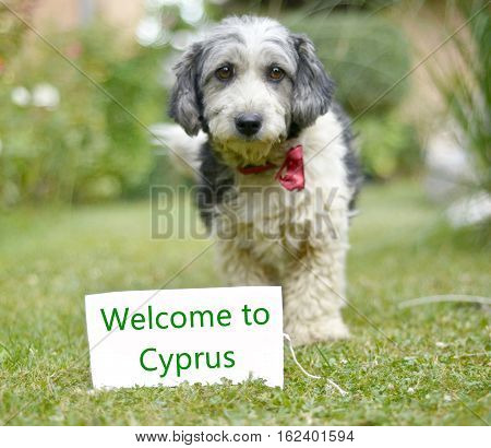 picture of a The cute black and white adopted stray dog on a green grass. focus on a head of dog. Text welcome to cyprus