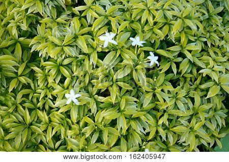 Flowers Arranged In Lotus-shape Green In The Garden