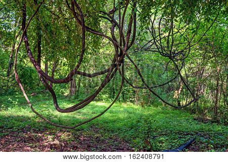 Thick lianas hanging in dense jungle of Sri Lanka