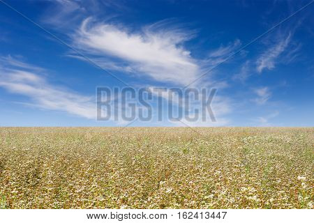 Buckwheat field. Flowering buckwheat field on blue sky background. Agriculture business. Blossoming buckwheat against blue cloudy sky