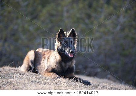 Belgian Shepherd puppy lying down. Dog has long, fluffy hair