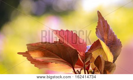 Red plant with leafy bloom in the garden
