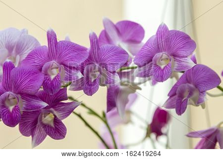 Purple Pink Orchid.