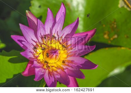 Purple lotus blooming with bee stingers were surrounded