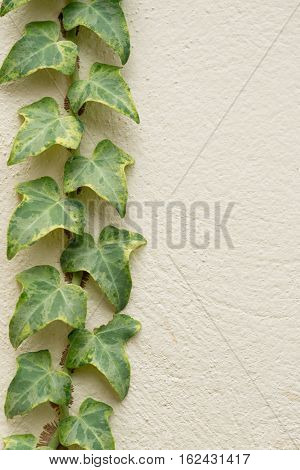 Ivy climbing on rendered wall of house background