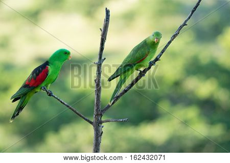 Male and female Australian native red-winged parrots in dead tree