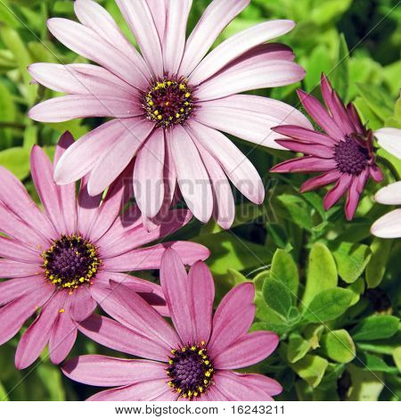 close up of few pink wild daisies