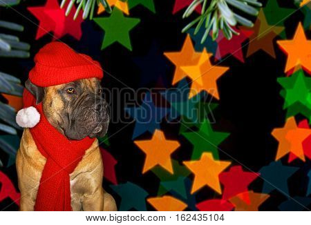 New year, Christmas, Santa Claus in the year of the Dog. Closeup portrait of a beautiful dog breed South African Boerboel. South African Mastiff.