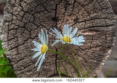 closeup of beautiful daisies growing on the background of the old stump