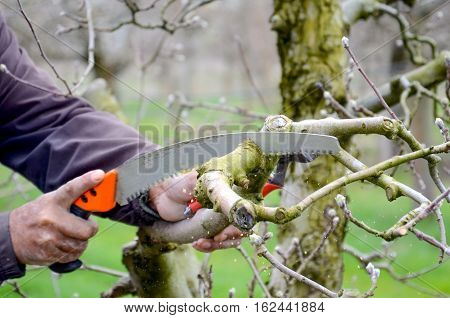picture of a Pruning an apple tree with pruning saw