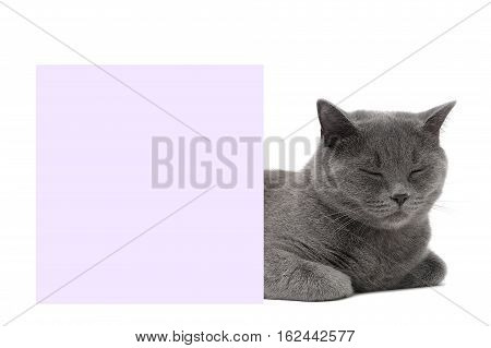 Scottish Straight breed cat sleeping near a banner. White background - horizontal photo.